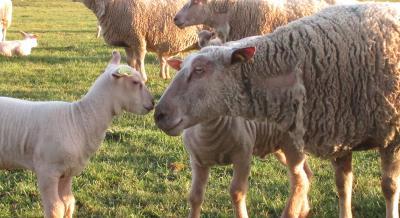 Mouton - Crédit © OS Mouton Charolais
